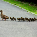 Ducks_army_marching
